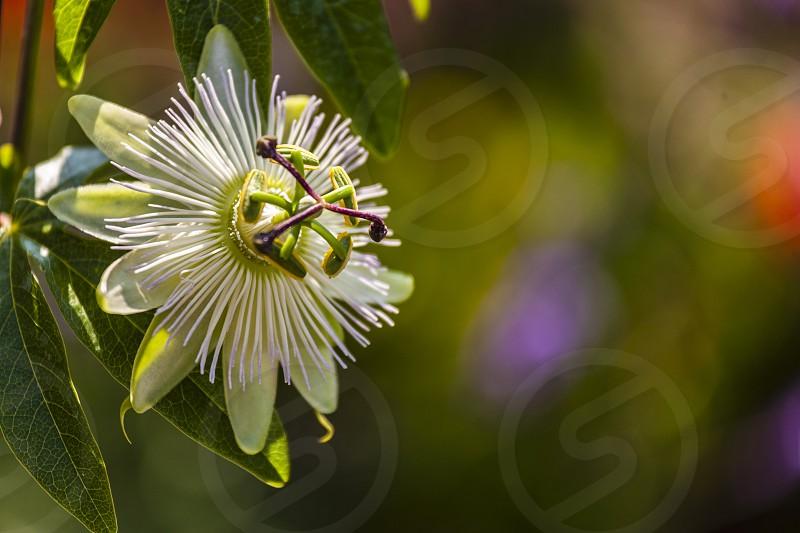 Passion flower photo