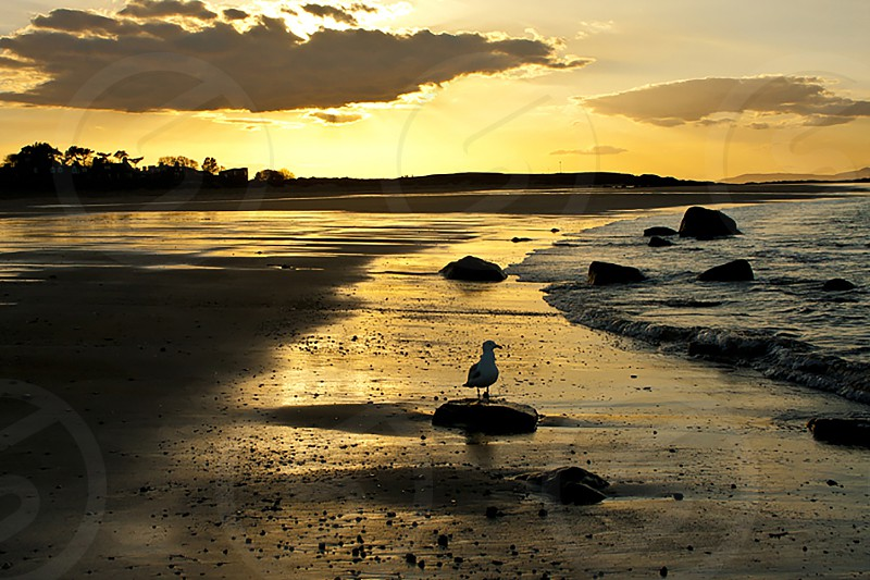 Peaceful golden sunset with a seagull in silhouette on the reflective wet sand photo