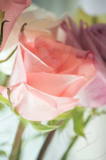 closeup photography of pink rose flower photo