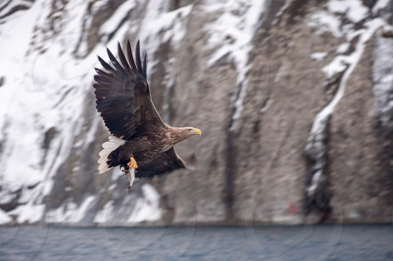 Eagle fishing in the Norwegian sea in the cold winte photo