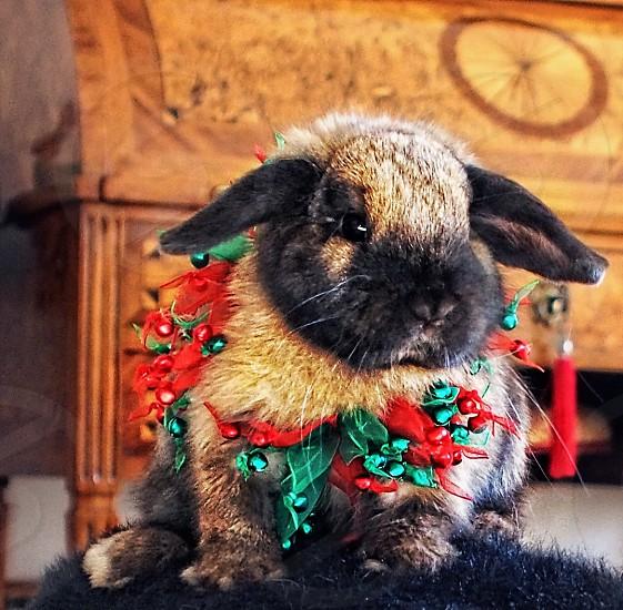 Thanksgiving Christmas Rabbit decorations Celebrations one-cool-rabbit Mango thanks give-thanks photo
