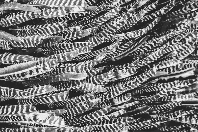 feathers b&w black and white photo