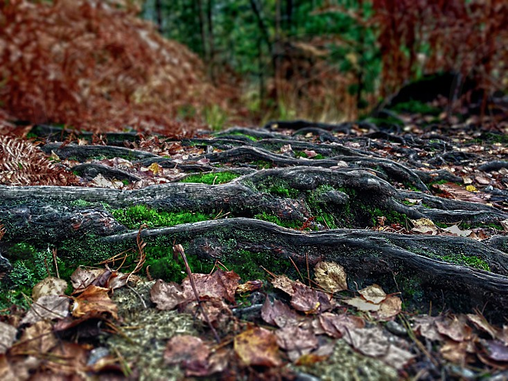 Autumn roots and leaves in the forest photo