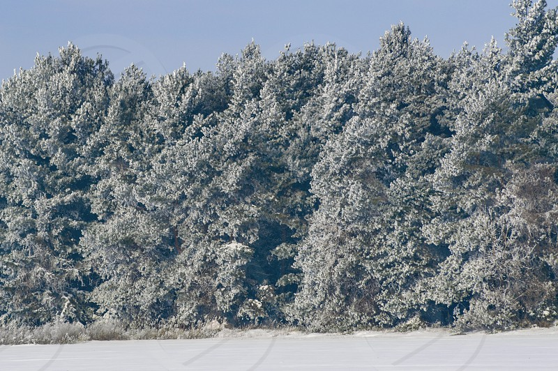 Winter weather white snow weather pine trees conifers snow covered blue sky ice frost cold nature Mother Nature  photo