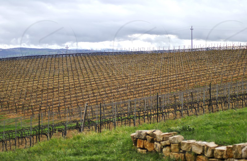 bare italian vineyard in a cloudy winter day photo