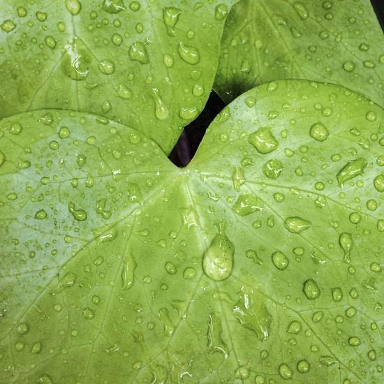rain drops on green ivy leaves photo