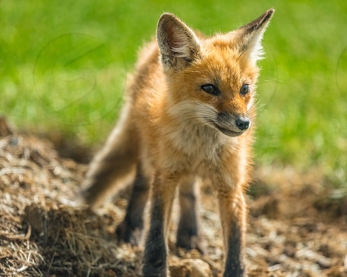 Baby Fox Kit In Early Spring In Ohio Standing In A Yard By Bradley Ratliff Photo Stock Snapwire