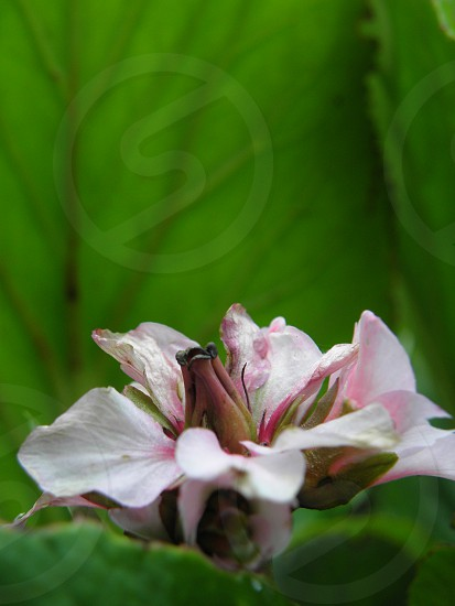 Pink flower on green foliage background. photo