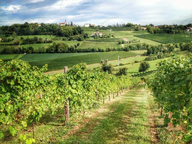 grape field view photo