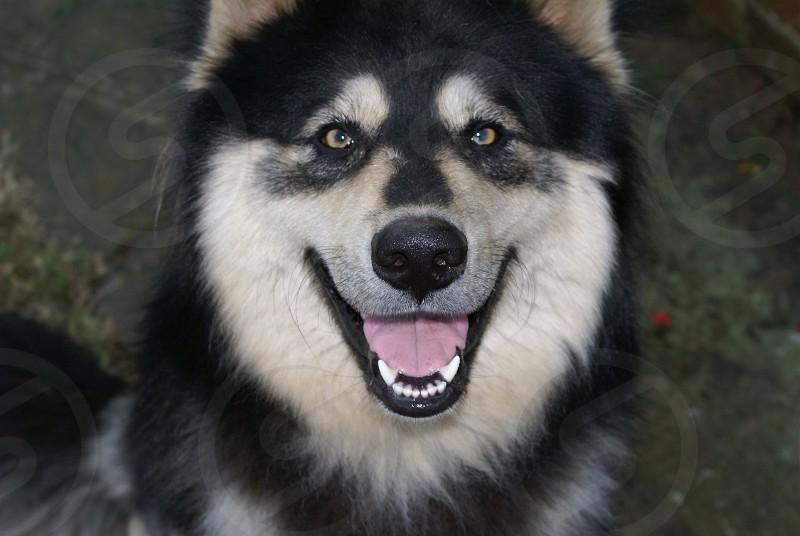 dog husky cross happy photo