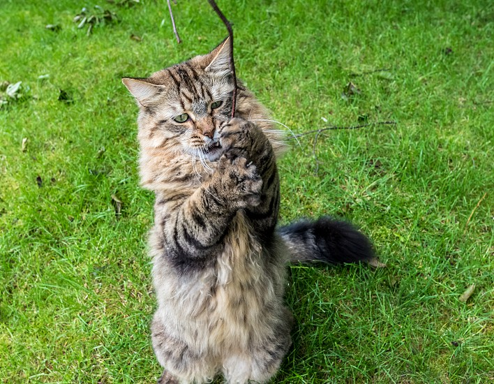 Long Haired Tabby Cat Playing Outdoors With A Branch. photo