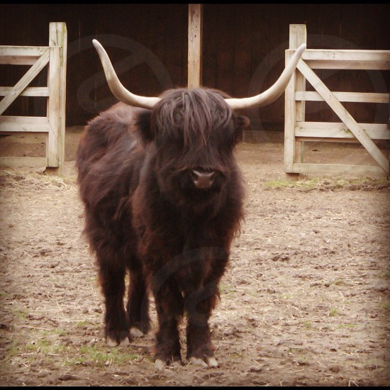black long haired animal with two horn photo