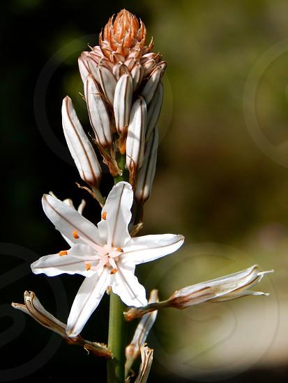 White lily flora photo
