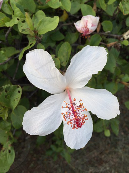 Flowers hibiscus Hawaii white flower beautiful nature photo