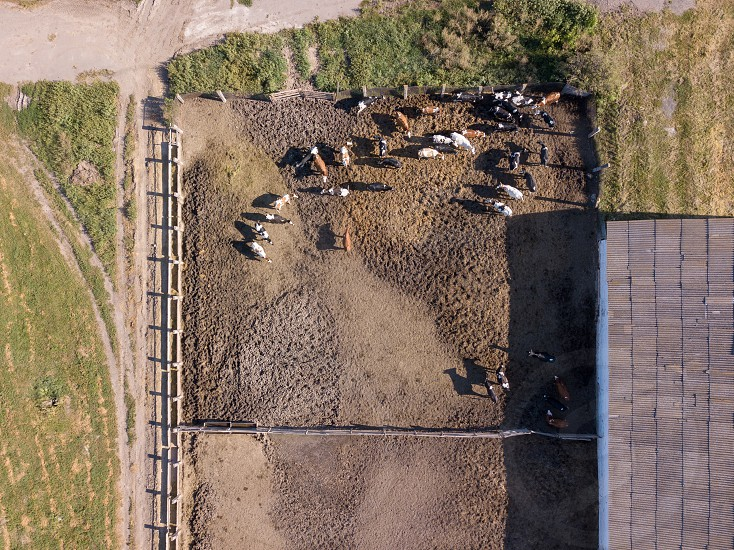 Top aerial view from drone to livestock cows farmland with herd of cattle is grazing in a summer day. photo