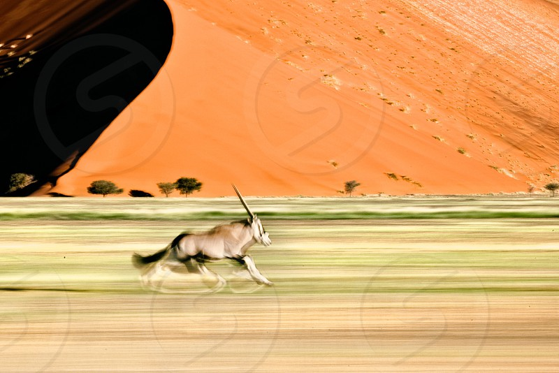 An Oryx or Gemsbok speeds past a large red sand dune in Sossusvlei in Namibia. photo