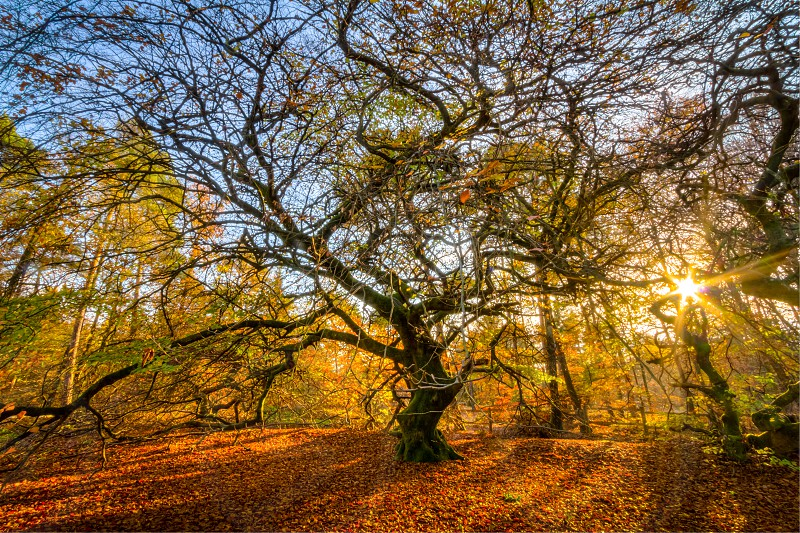 Twisted beech trees in autumn/fall at the end of the afternoon when the sun is low enough to shine through the branches. tiff format available. photo
