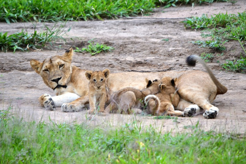 mother lion and cubs in wild photo