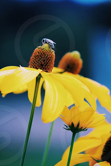 In natural light macro photography yellow coneflower with a wasp photo