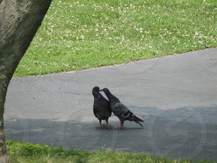 Kissing Pigeons  photo