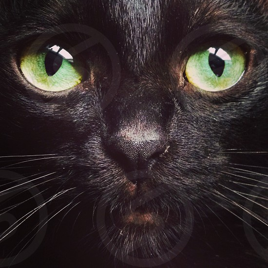 Black Bussy cat photo