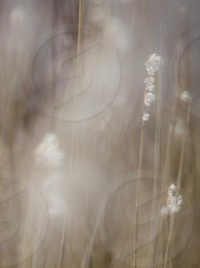 Wispy reeds. Fairytale. Whimsical. photo