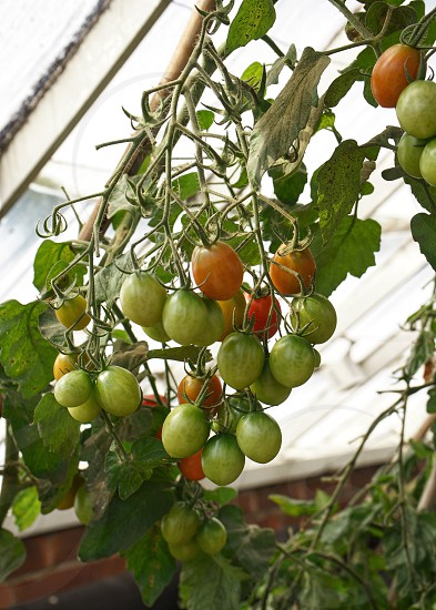 Plum tomatoes ripening in a greenhouse photo