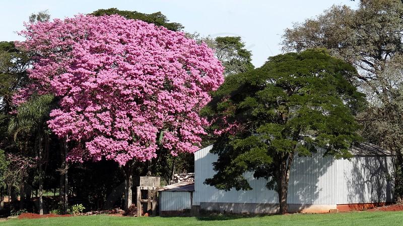 Ipe pink Arapongas PR Brazil. photo