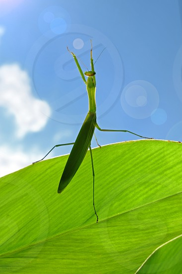 Mantis has sun bath in sunny morning. photo