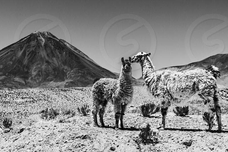 An amazing view of two Llamas in front of Licancabur Volcano at Atacama Desert Chile  photo