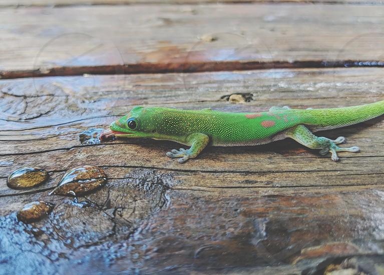 Gecko Having a Drink photo