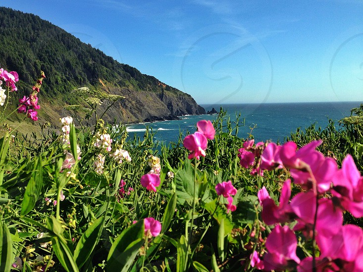 Pink wildflowers overlooking the Oregon Coast photo