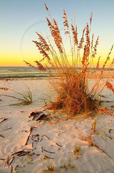 A beach sunrise featuring a patch of sea oats. photo