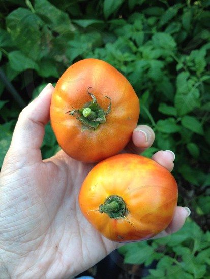 A hand grasping two near-ripe tomatoes in a lush garden. photo
