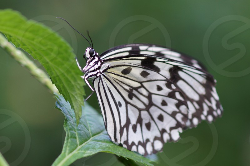 Butterfly Black and White photo