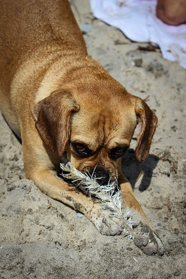 My little Puggle playing with a feather on the beach  photo