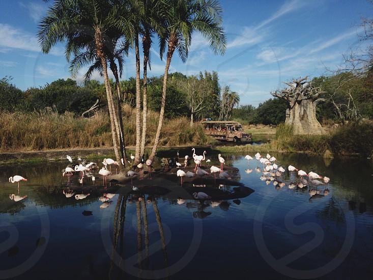 Safari ride drive truck attraction theme park park conservation water pond lake tropical palm trees reflection tourist trip birds animals flamingos travel photo