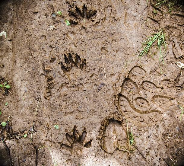 Tracks foot prints mud raccoons boot print nature hiking wildlife hunting  photo