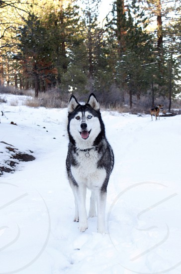 Dog dogs pet pets husky snow dog smile fur white color eyes blue forest woods cold mountains trees tree animal nature beast wolf happy portrait girl puppy cute beautiful beauty outdoors outside winter  photo