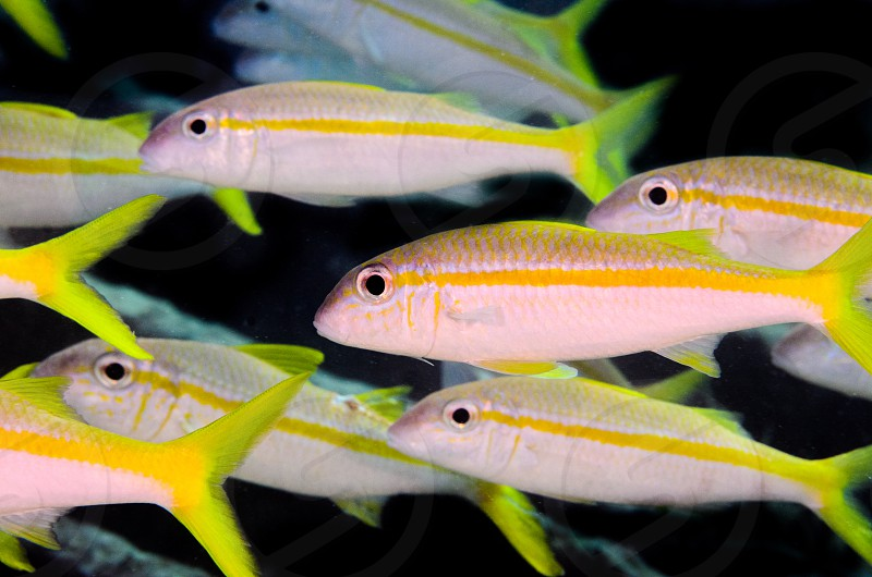A school of bright yellow fish. photo
