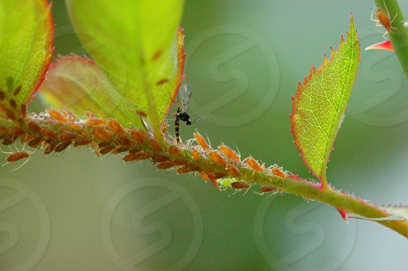 Wasp laying eggs into aphids. Parasitoid egg laying aphids eating rose bush biocontrol photo