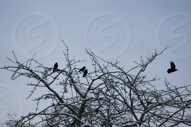 Crows on a tree photo