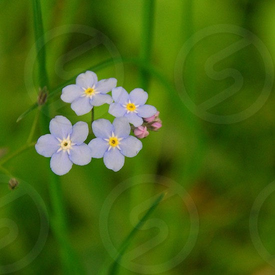 """""""Vergissmeinnicht"""" When this you see remember me  Forget-Me-Not photo"""