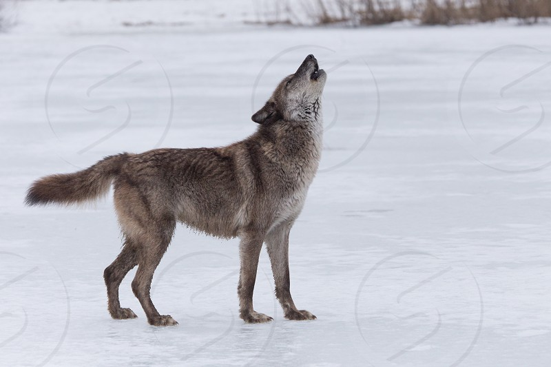 A wolf standing on a frozen lake howling photo