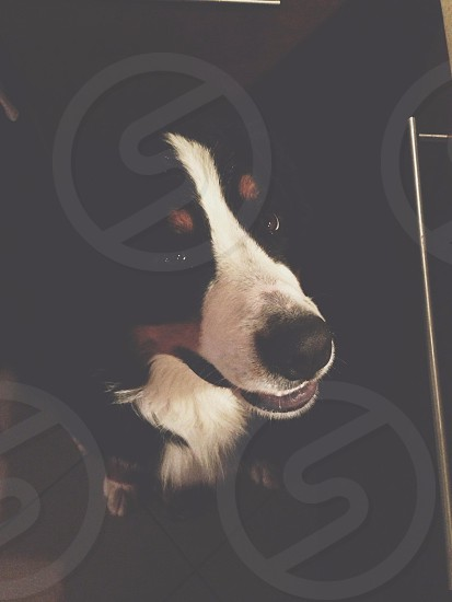 Bernese mountain dog sits on floor inside the room photo