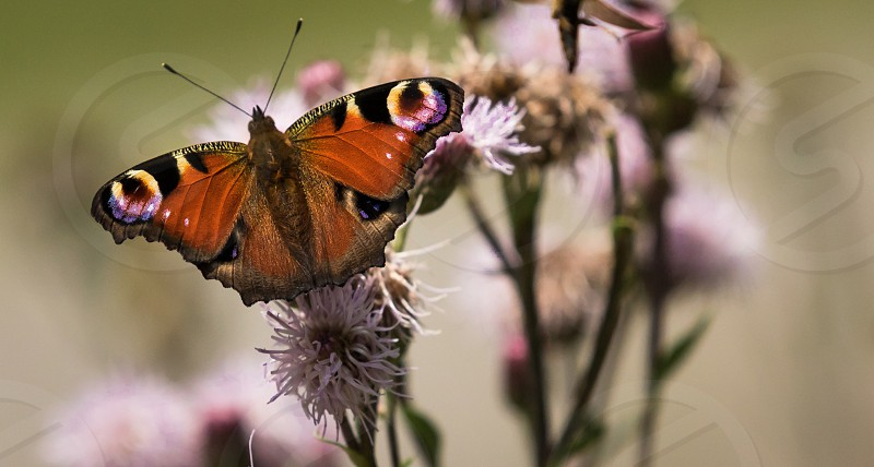 Peacock butterfly on a flower photo