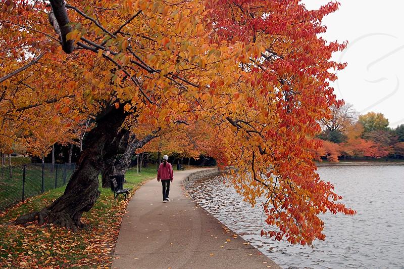Washington DC cherry trees in fall. shotsbygene.com Gene Myers  photo