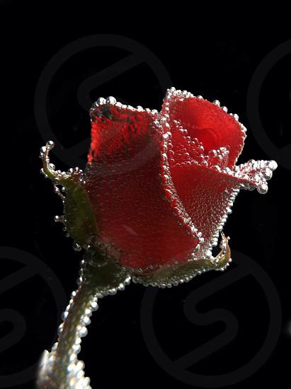A bubbly Rose photo