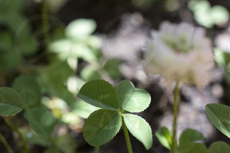 four leaf good luck plants shamrocks lucky charm photo