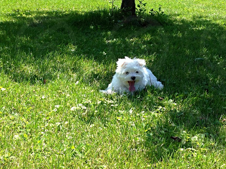 Maltese puppy in the grass. photo